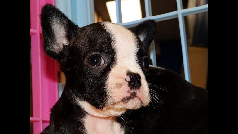 Boston Terrier Florence Sc