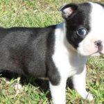 Boston Terrier For Sale Southern Oregon