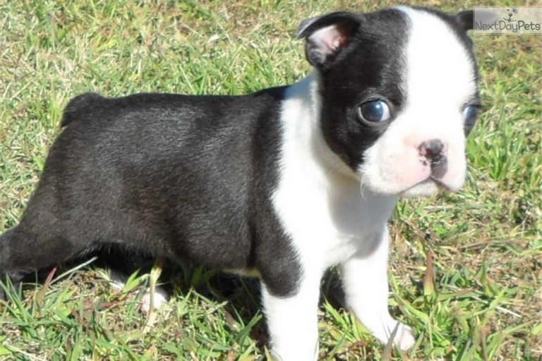 Boston Terrier For Sale Southern Oregon