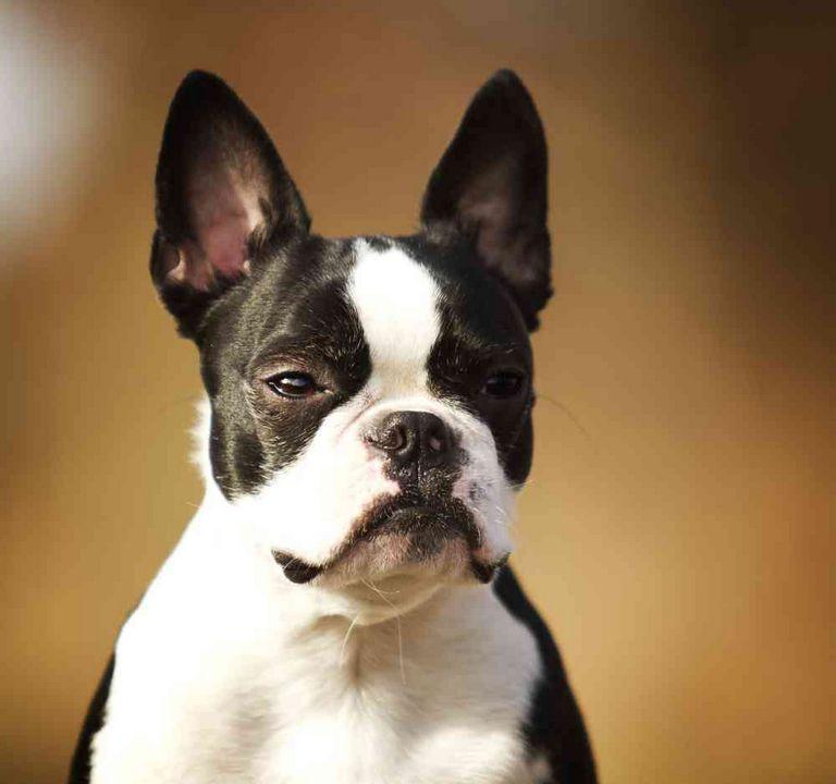 Boston Terrier French Bulldog Mix