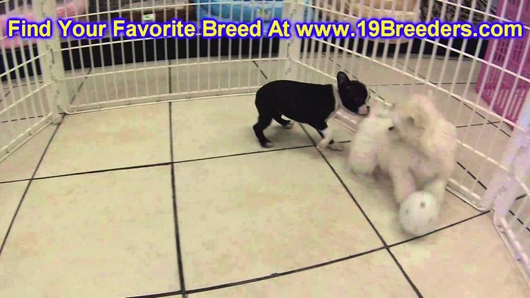 Boston Terrier Lewiston Id | Top Dog Information