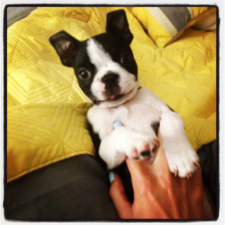 Boston Terrier Puppies For Sale Under 500