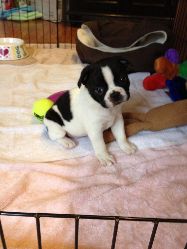 Boston Terrier Puppies Gadsden Alabama