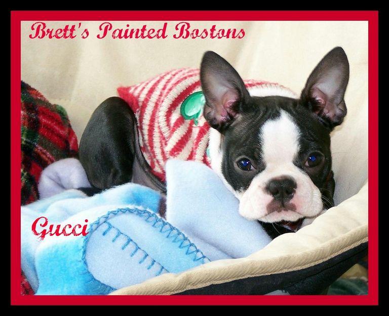 Boston Terrier Puppies Kokomo Indiana | Top Dog Information