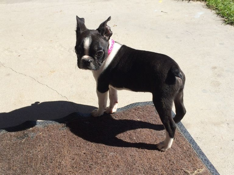 Boston Terrier Puppies Lakeland Fl