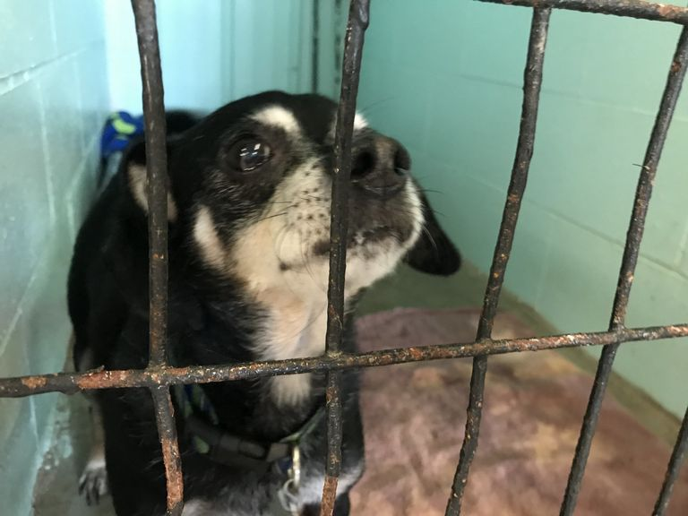 Boston Terrier Puppies Muncie Indiana
