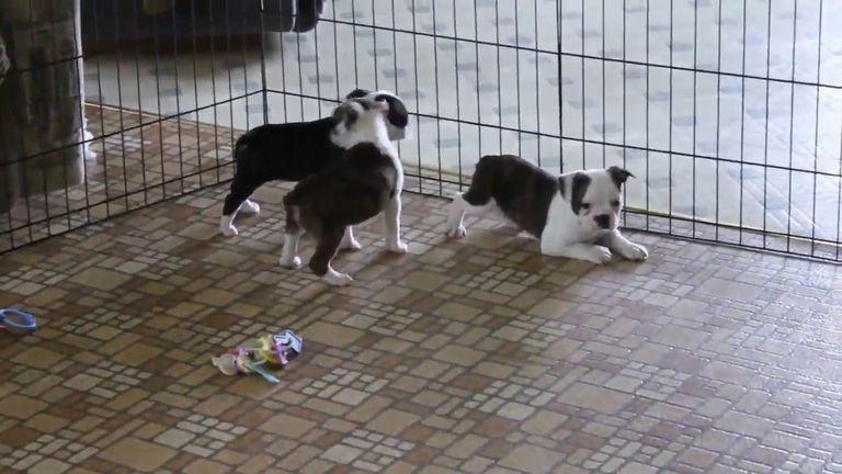 Boston Terrier Puppies Myrtle Beach Sc