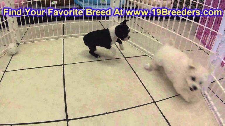 Boston Terrier Puppies Roseburg Oregon