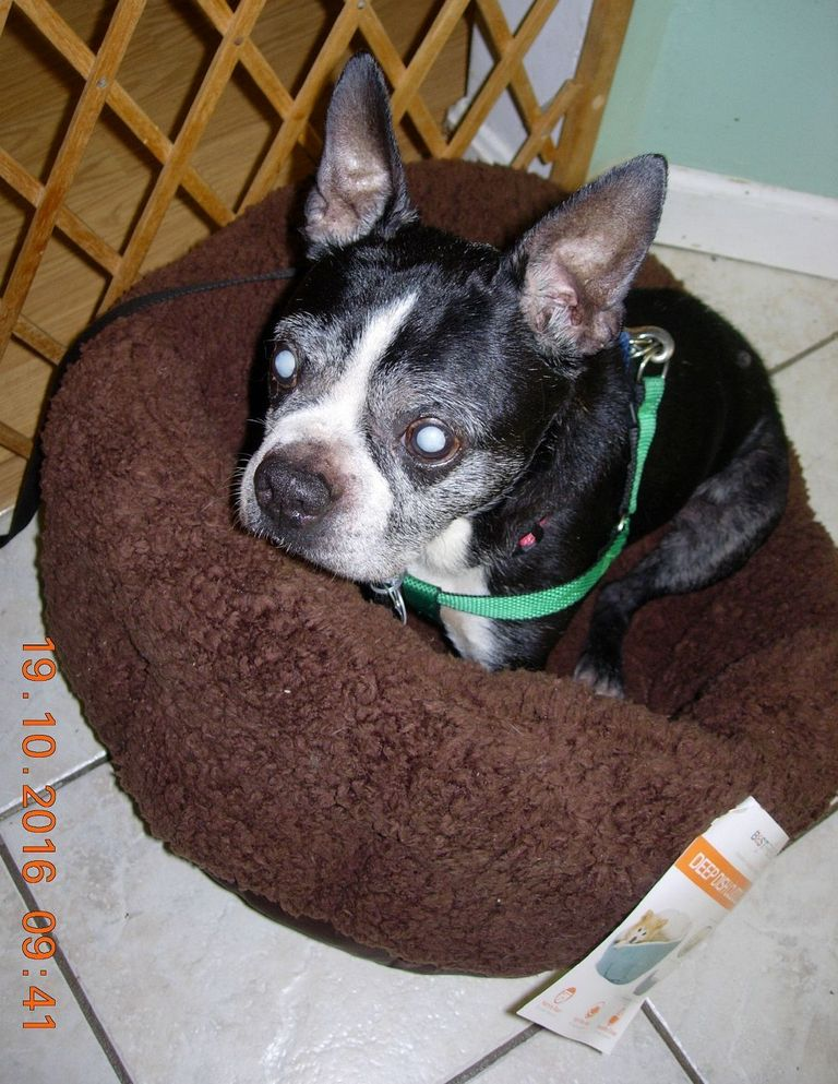 Boston Terrier Puppies Temple Tx | Top Dog Information