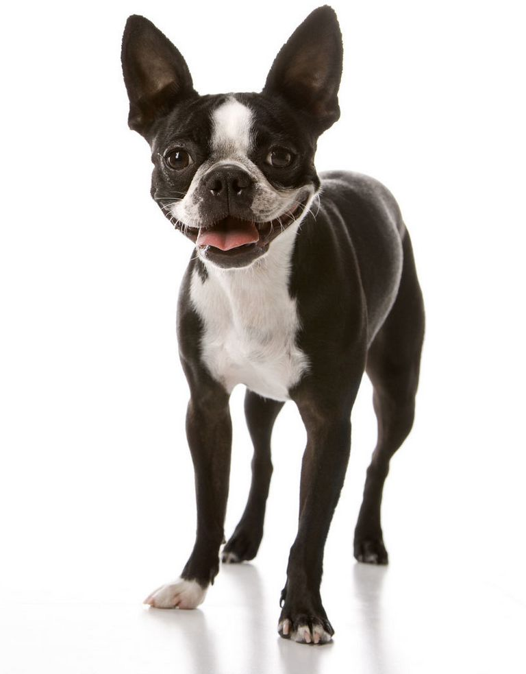 Boston Terrier Rescue Maryland