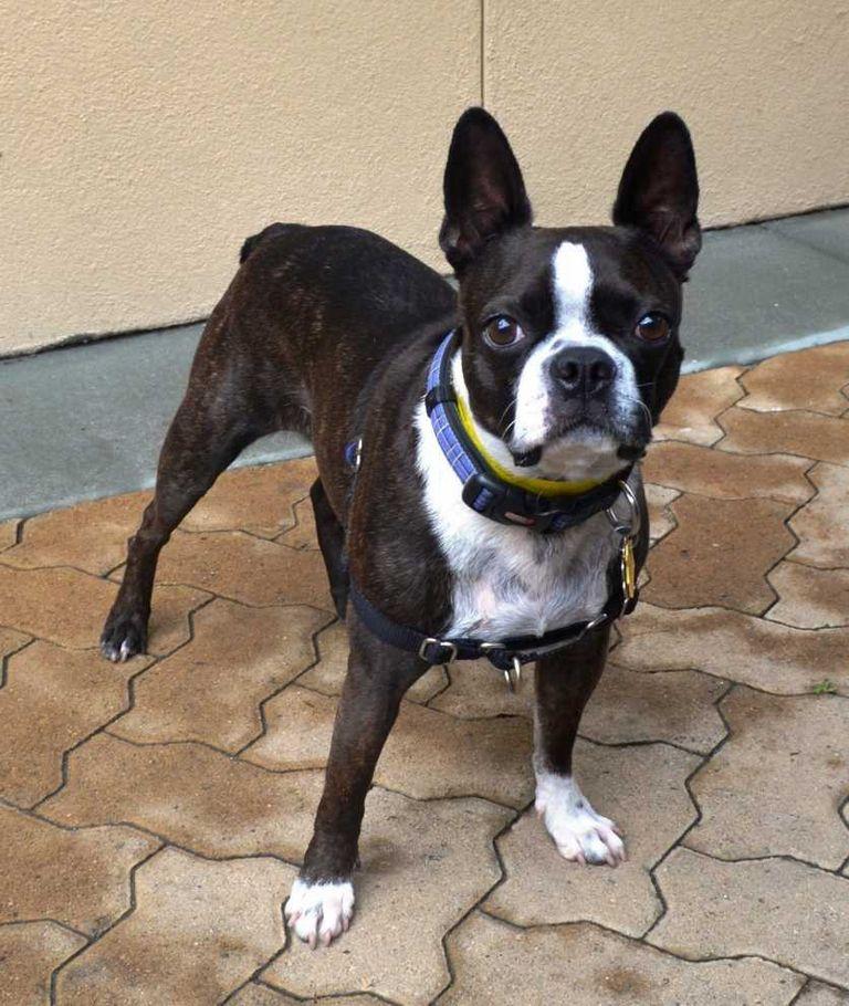 Boston Terrier Rescue Michigan