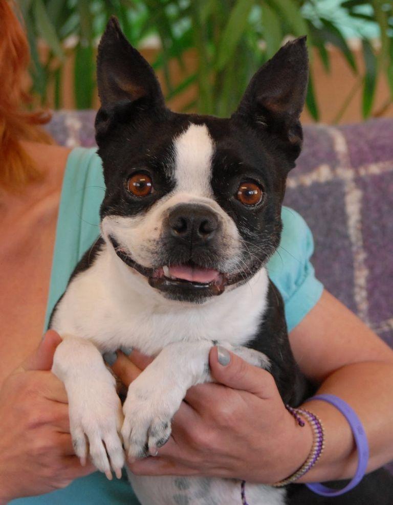 Boston Terrier Rescue Nevada