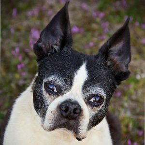 Boston Terrier Rescue Oklahoma