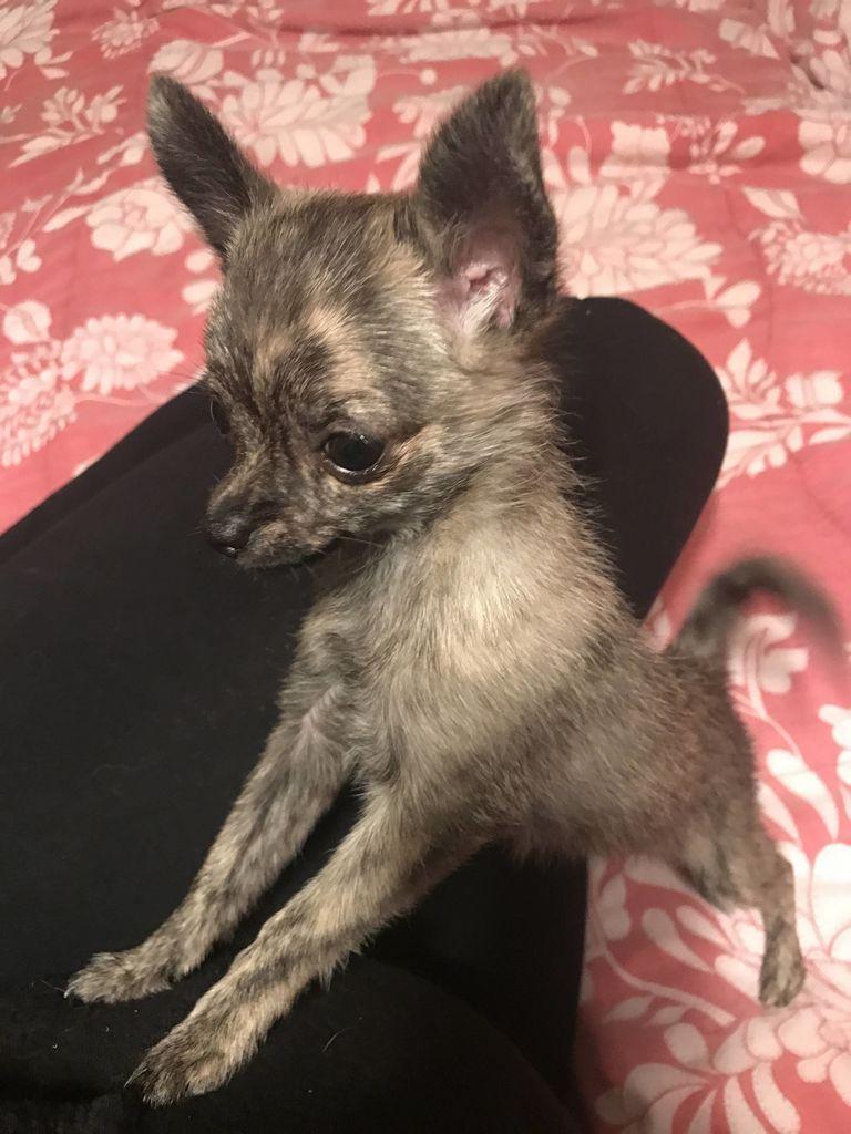 Boston Terrier Rescue Wisconsin 54618