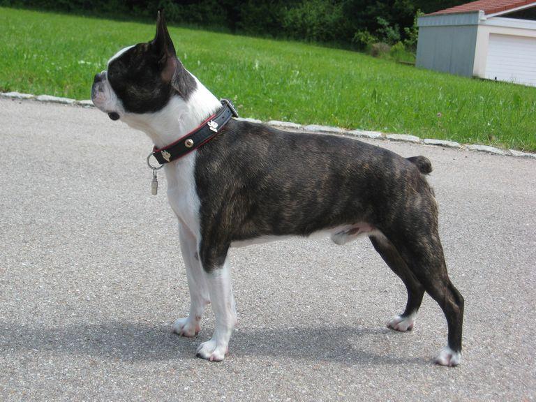 Boston Terrier Size