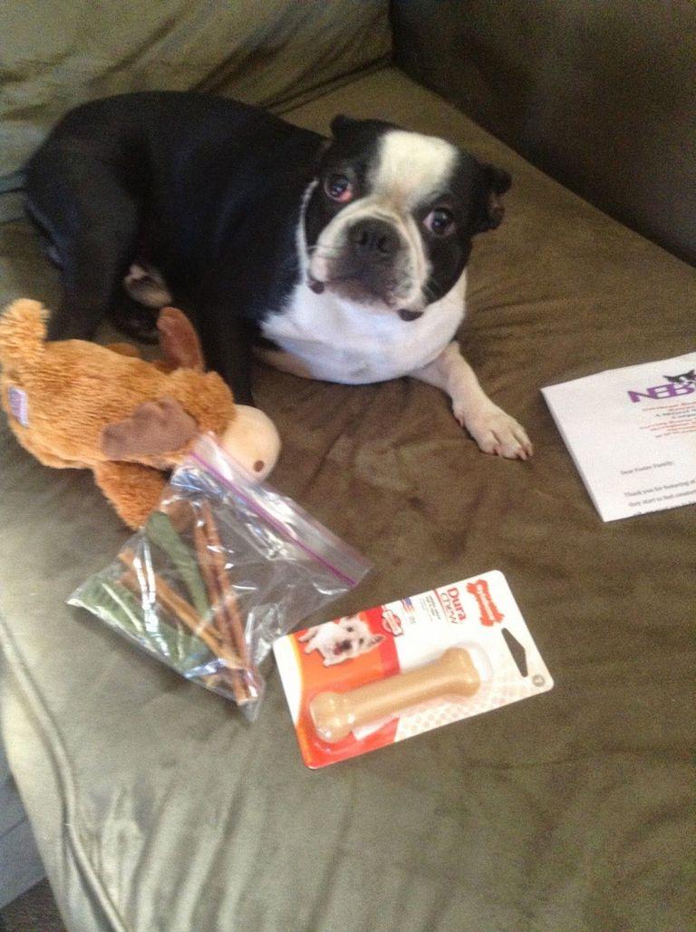 Boston Terrier Tea Party Rescue