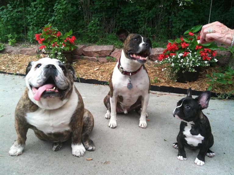 Boston Terrier Vs French Bulldog Reddit