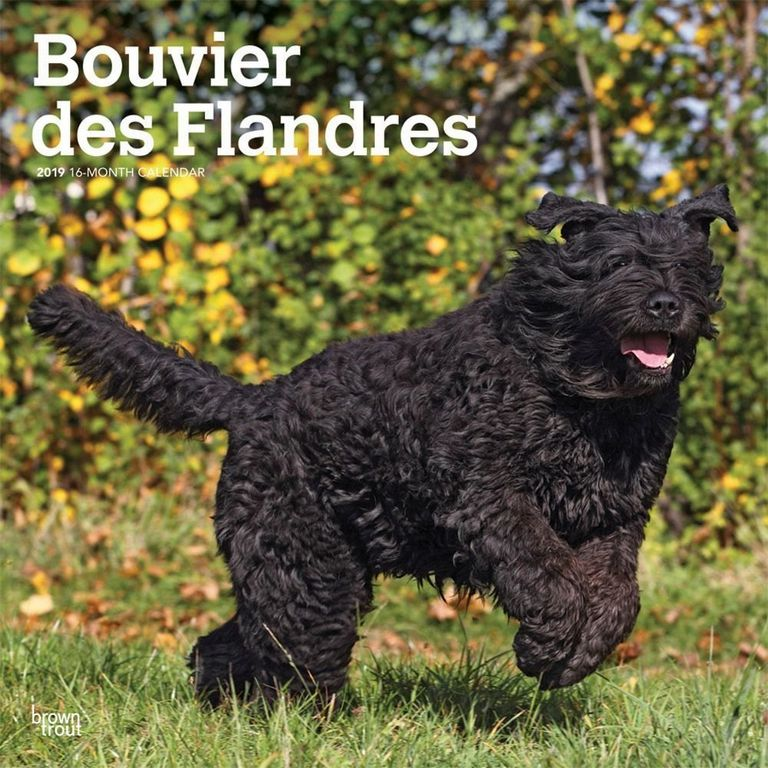 Bouvier Des Flandres For Sale Kentucky