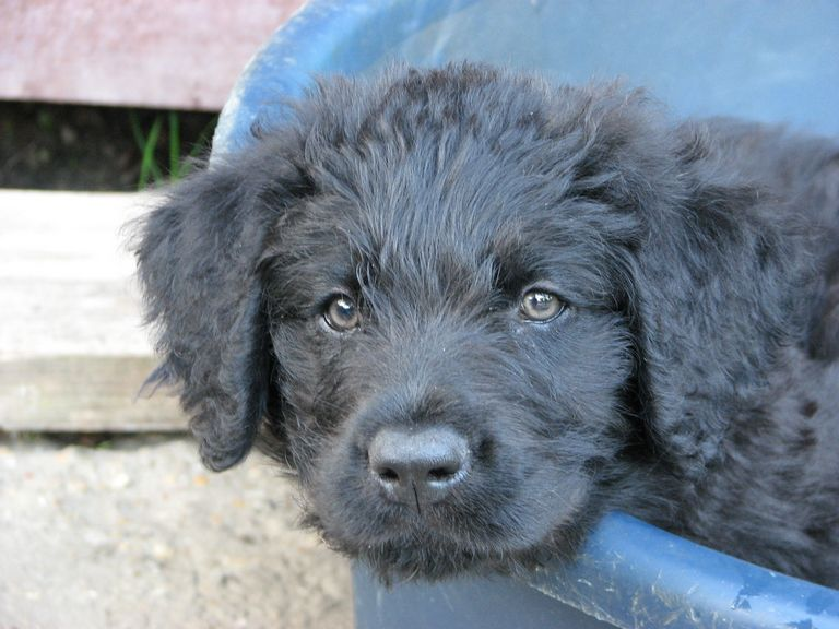 Bouvier Puppies For Sale Houston | Top Dog Information