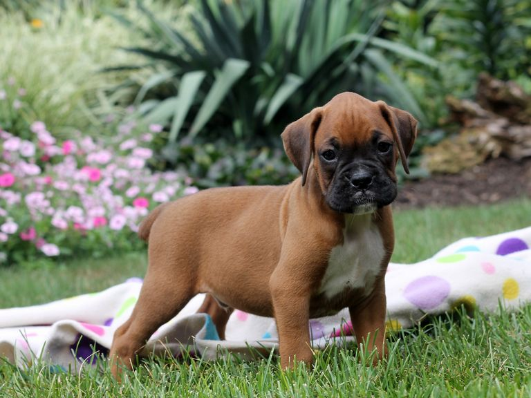 Boxer Breeders In Pa Puppies For Sale