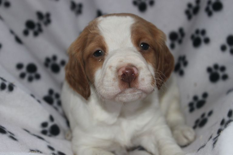 Brittany Puppies For Sale In Pa