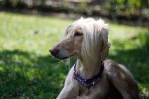 Brittany Spaniel For Sale Craigslist
