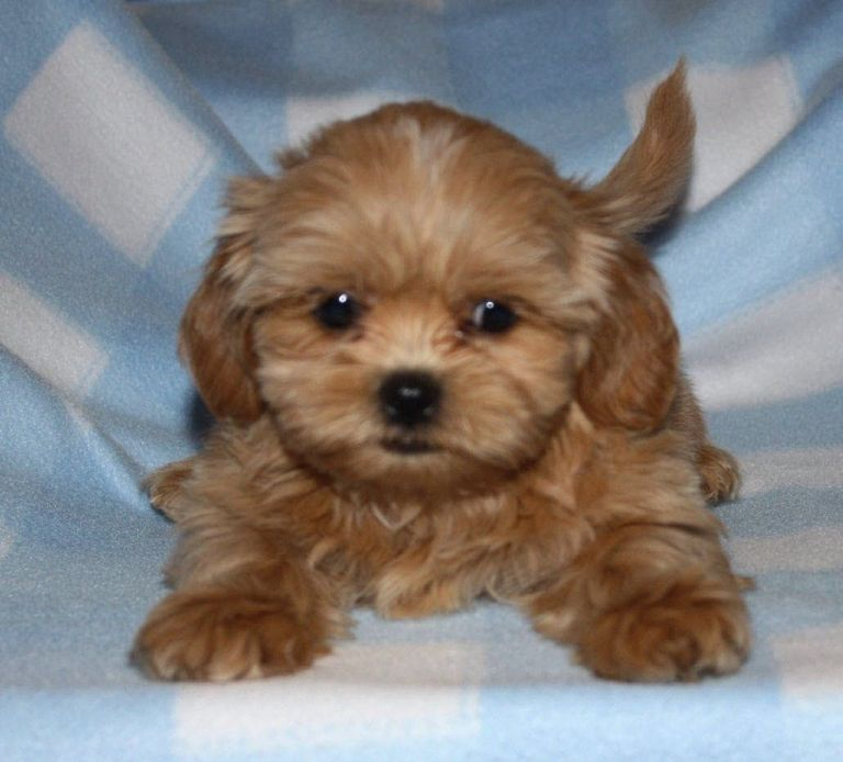 Brown Shichon Puppies For Sale