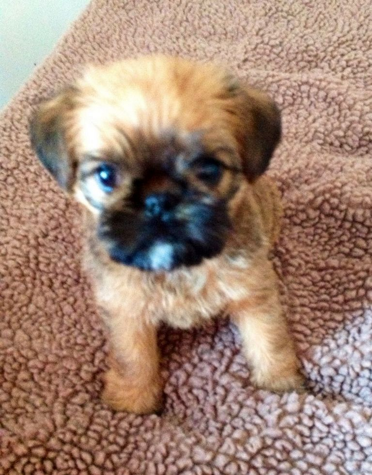 Brussel Sprout Puppies For Sale