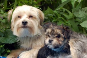 Brusselranian Puppies For Sale