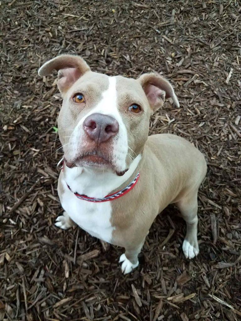 Bull Terrier Atlanta