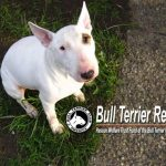 Bull Terrier Club Rescue
