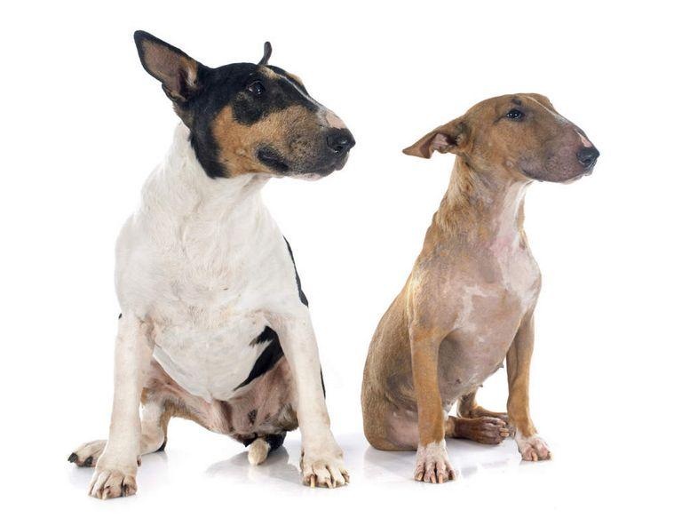 Bull Terrier Pennsylvania
