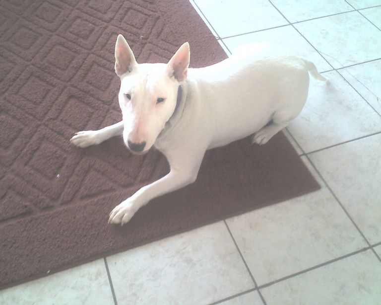 Bull Terrier Puppies Michigan