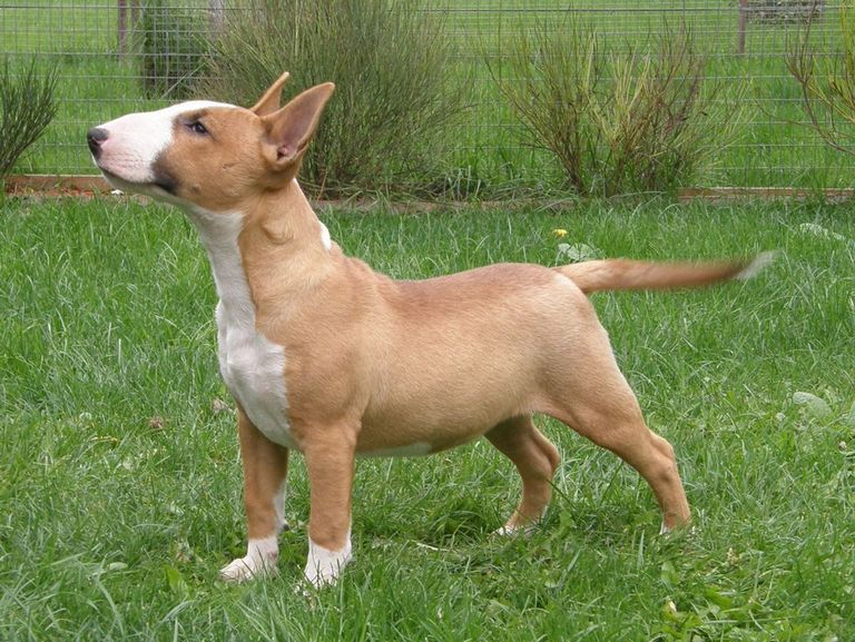 Bull Terrier Rescue California
