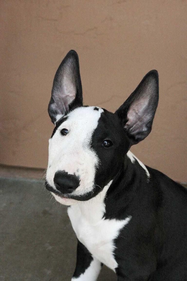 Bull Terrier Rescue Ohio