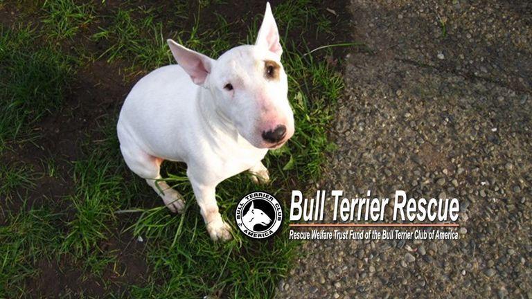 Bull Terrier Rescue Washington State