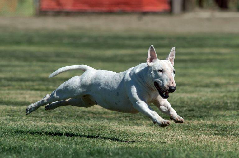 Bull Terriers Usa