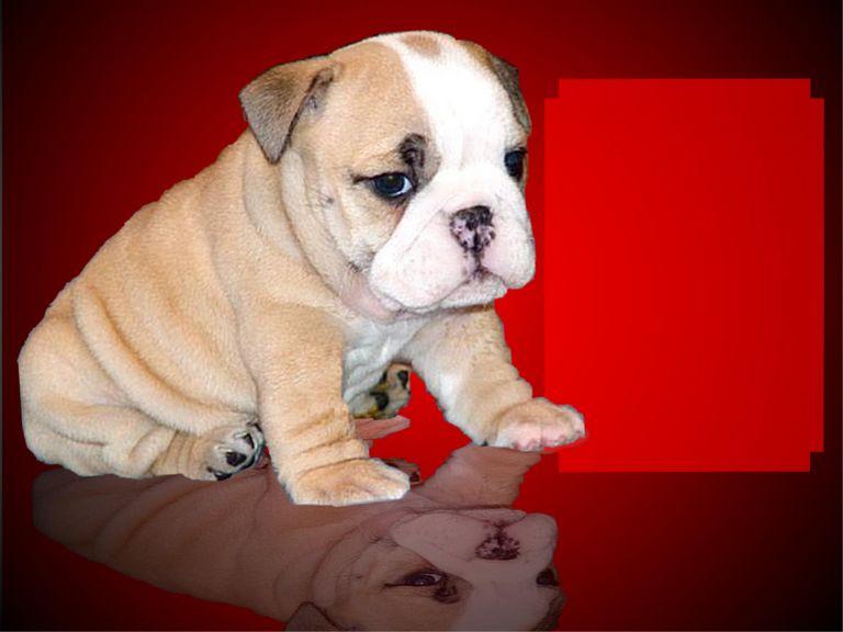 Bulldog Puppies For Sale Near Me