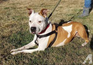 Bulldog Rescue Idaho