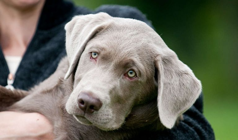 Buy A Silver Lab Puppy