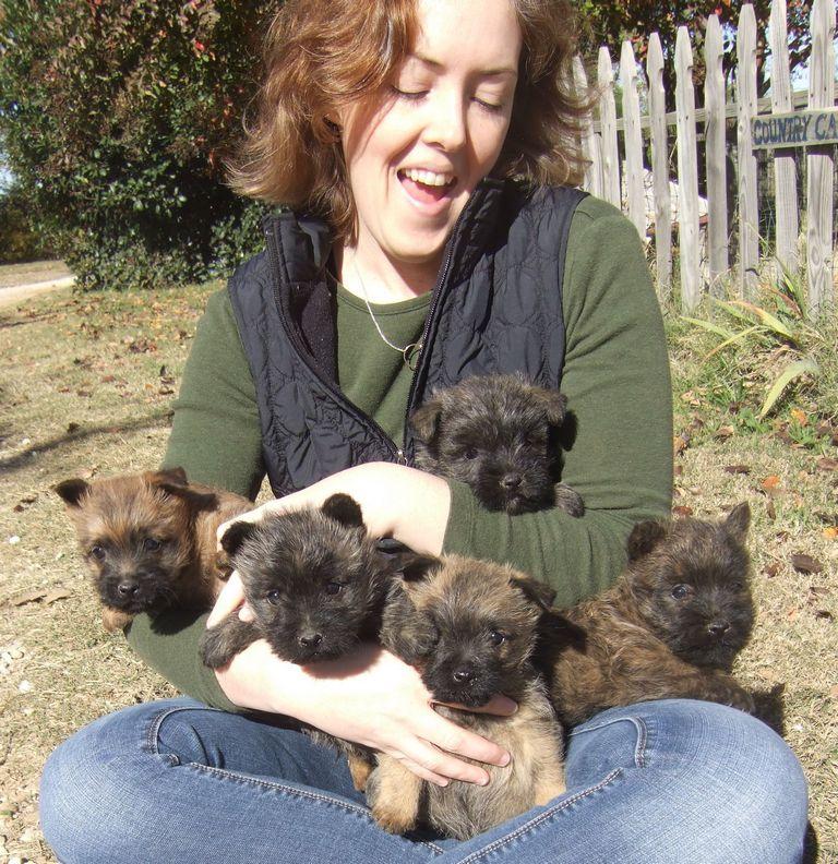 Cairn Terrier Puppies Texas