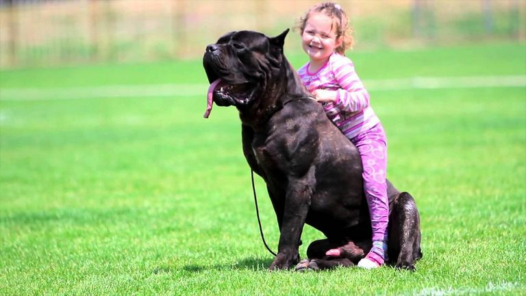 Cane Corso And Kids