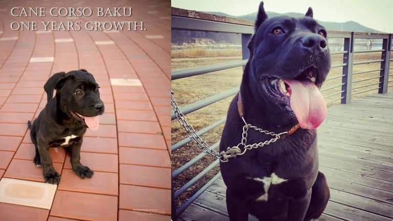 Cane Corso Growth Stages