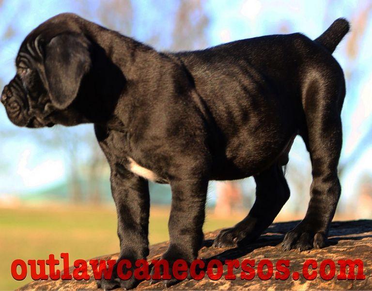 Cane Corso Puppies Baton Rouge