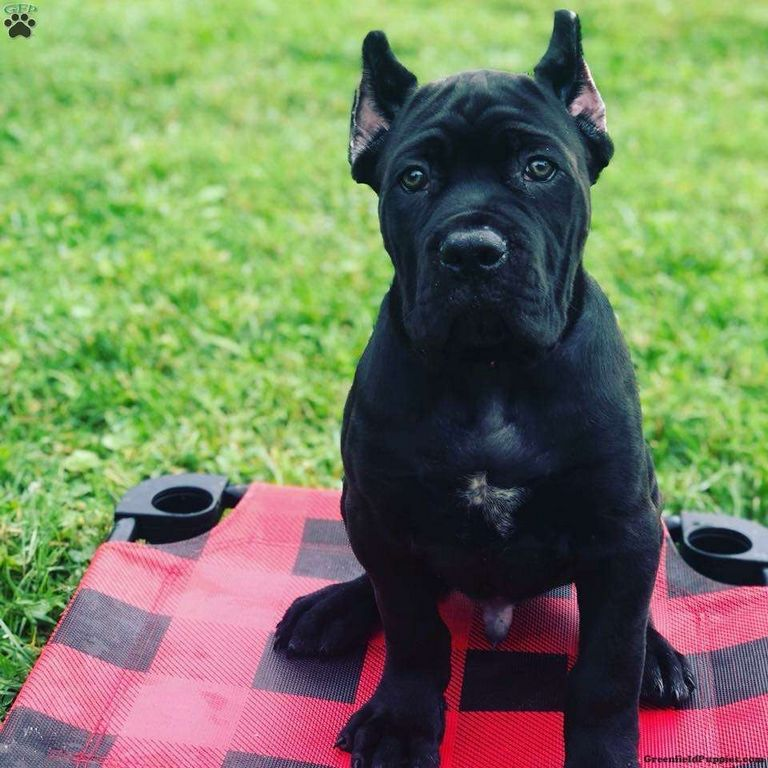 Cane Corso Puppies For Adoption In Md