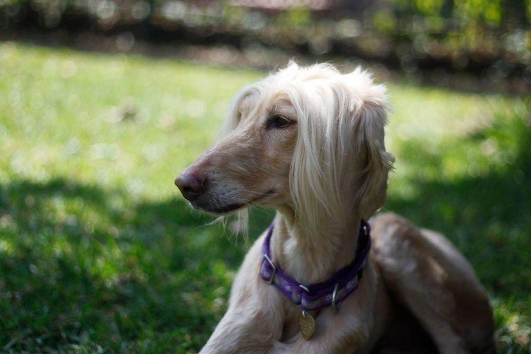 Cane Corso Puppies For Sale Craigslist
