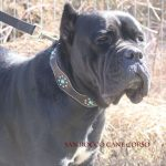Cane Corso Puppies For Sale In Iowa