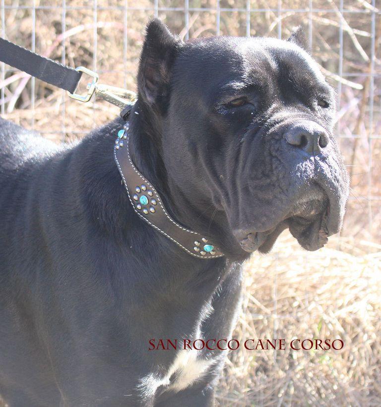 Cane Corso Puppies For Sale In Iowa