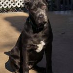 Cane Corso Rehoming