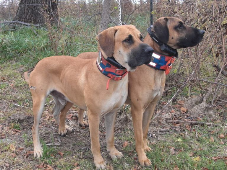 Carnathan Black Mouth Cur Dogs